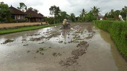 Peasant use simple tractor to plow marshy paddy field, Balinese rice agriculture Footage