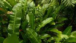 Lush wet banana leaves in rainforest jungle, close view from top Footage