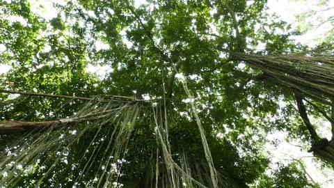 Sunlight flicker through tall tree crown, rainforest hanging roots, slide shot Footage