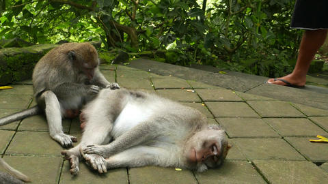 Alpha male monkey lie on pavement, groomed by an juvenile Live Action