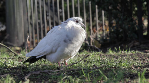 White Pigeon stock footage