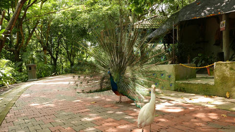 Peacock show tail fan and turn around, sunny shaded pathway Footage