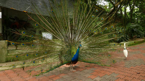 Male peafowl expanded tail fan, courtship ritual, quiver Live Action