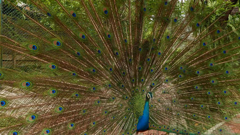 Full expanded peacock fan, move closer, back view, loud bird calls Footage