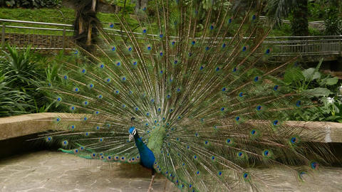 Peafowl male from side, turn around front view of vibrant ornamented tail fan Footage