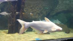 White fish in Langkawi Underwater World Oceanarium Footage