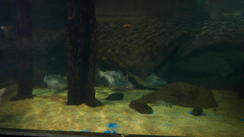 Humpback salmon fish in aquarium, swim out, approaching camera Footage