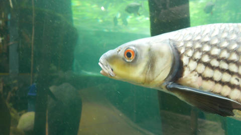 Swim fish yellow eye extreme close up tracking shot, public aquaria Footage