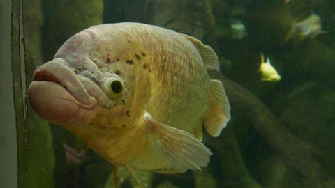 Big old fish with big lips looks black eyes, zoo aquarium Footage