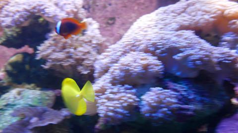Zebrasoma flavescens float between purple anemones, Cinnamon clownfish Footage