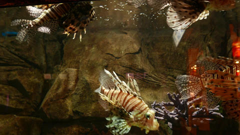 Pterois volitans in zoo aquarium, clear colorful view, pack of fish float Footage