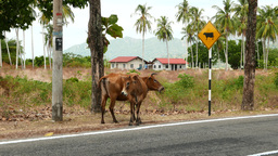 Cow and calf standing next to the traffic sign attention cows on road side Footage