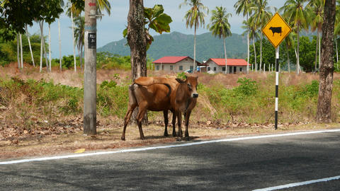 Curious scene, cow and calf standing before road sign, cattle ahead alert Footage