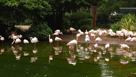 Pink flamingo in pool and ground, zoo park at open air area Footage