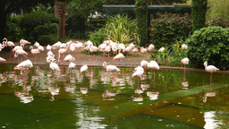 Close up flamingo flock on pond shore and in waters, zoological garden Footage
