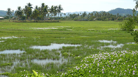 Grassy rice field, lake, palm trees, fish splashing, tropical island Footage