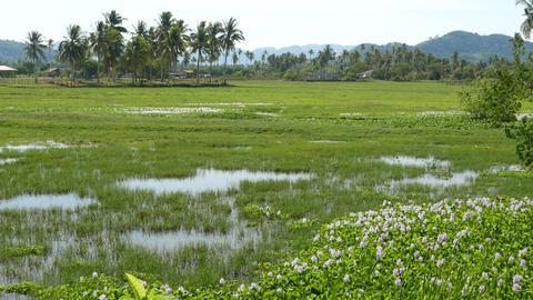 Grassy rice field, lake, palm trees, fish splashing, tropical island Footage