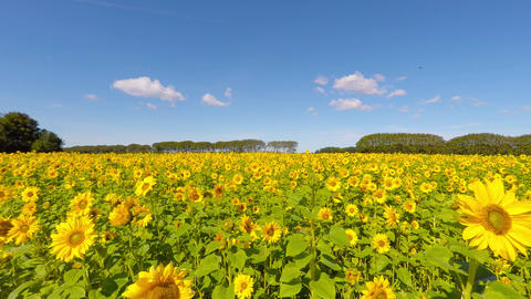 Lovely sunflowers in a field Footage