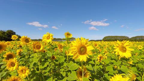 Sunflowers Whereever I Look stock footage
