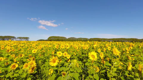 Beautiful Field filled with sunflowers Footage