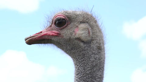 Close Up Ostrich Head Shot Stock Video Footage