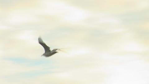 seagull b Footage