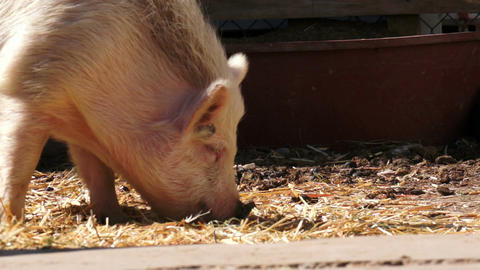 Hairy White Pig Eating Stock Video Footage