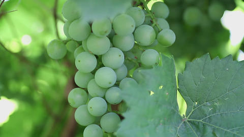Green grapes Stock Video Footage