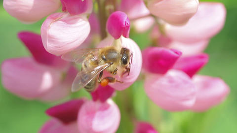 bee collects nectar from pink flowers of lupine Stock Video Footage