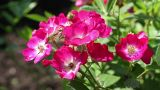 wild roses in the garden Footage