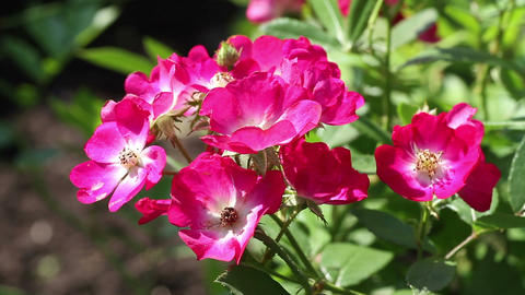 wild roses in the garden Stock Video Footage