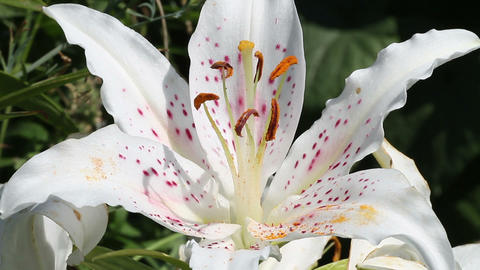White lily flower Stock Video Footage