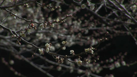 Japanese ume blossoms Stock Video Footage