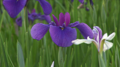 Japanese iris Stock Video Footage