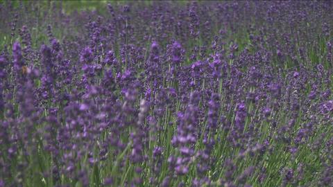 Lavender flowers Stock Video Footage