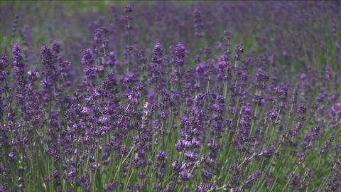 Lavender flowers Stock Video Footage