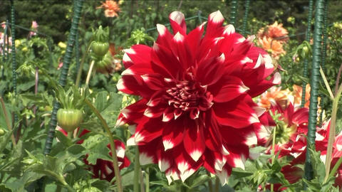Red Dahlia Stock Video Footage