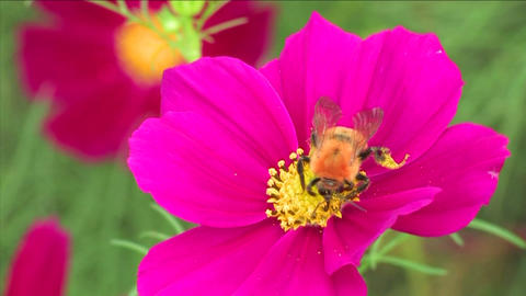 Bee on a cosmos flower Stock Video Footage