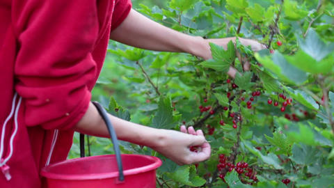 A woman collects red currants in a bucket Footage
