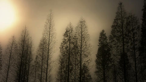 Trees crown sway in wind,metasequoia,Jungle,forest Footage