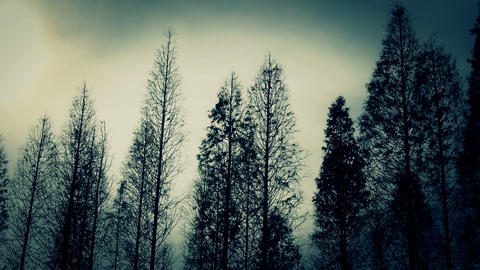 Trees crown sway in wind,metasequoia,Jungle,forest Stock Video Footage