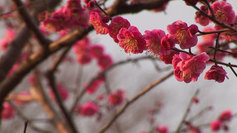 Japanese ume blossoms (Plum blossoms) Stock Video Footage