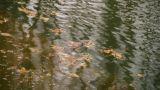 metasequoia leaves floating on Sparkling lake,Duckweed,algae,aquatic-plants Footage