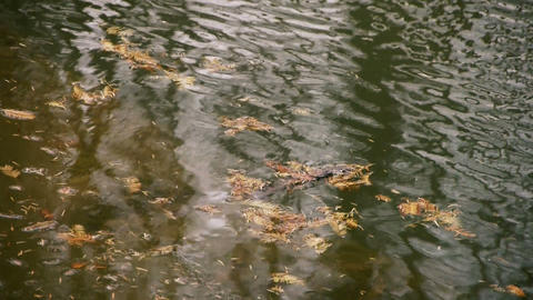 metasequoia leaves floating on Sparkling... Stock Video Footage