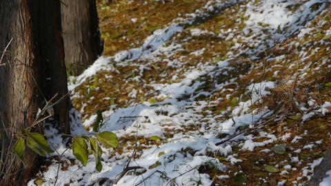 Green leaves relying trunk in snow,Forest winter Stock Video Footage