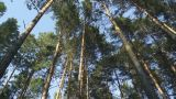 Pine Forest. Look At The Tops Of The Trees stock footage