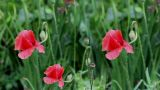 red poppy Stock Video Footage
