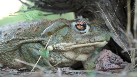 Colorado River Toad Stock Video Footage