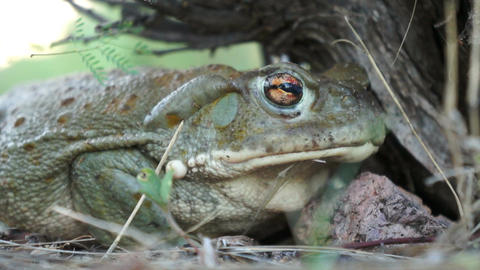 Colorado River Toad Stock Video Footage