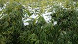 Snow covered Bamboo,swaying in wind Footage